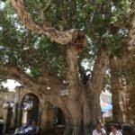 Cümbez Ağacı_Lala Mustafa Paşa Camii