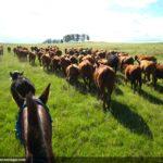 Hayvancılık_Uruguay